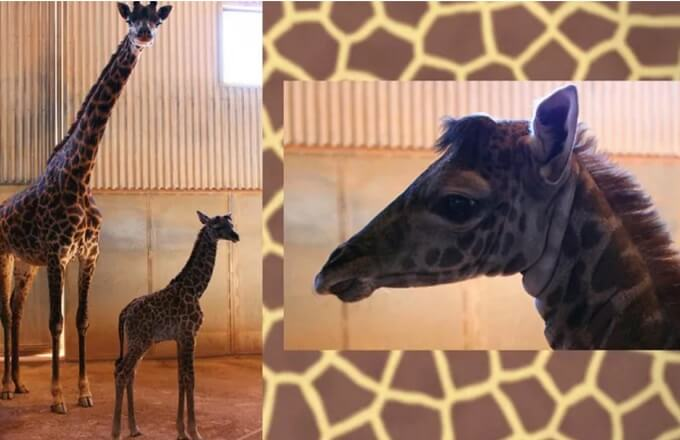 Cast your vote to name Phoenix Zoo's new baby giraffe